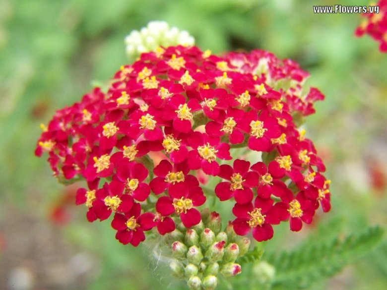 yarrow-red